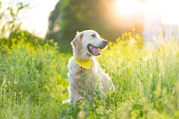 Золотистый ретривер собака сидит на солнечном цветущем лугу