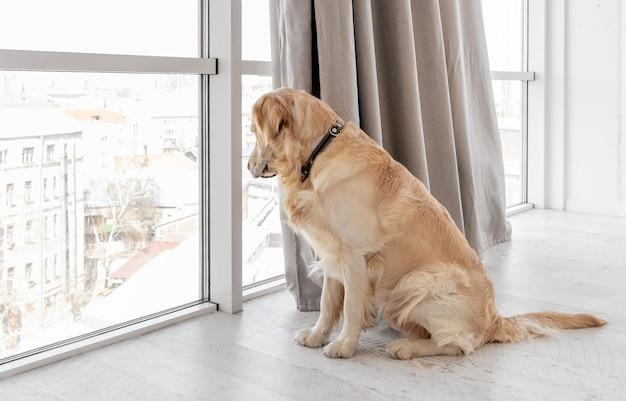 自宅の床に座ってパノラマの窓の外を見ているゴールデンレトリバー犬