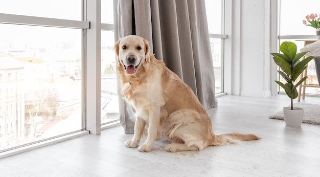 パノラマの窓の隣の床に座ってカメラを見ているゴールデンレトリバー犬