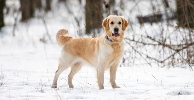 Золотистый ретривер собака стоит и внимательно смотрит в камеру во время зимней прогулки в лесу
