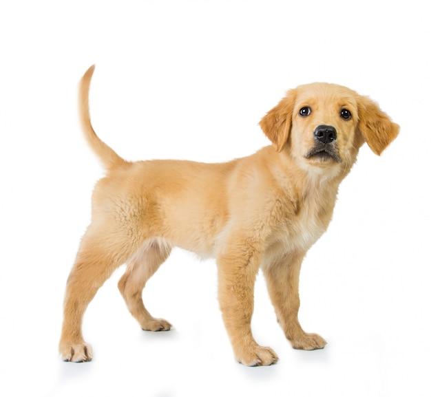 Golden retriever dog standing isolated