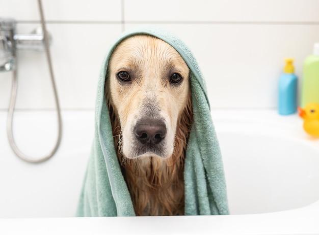 Golden retriever dog under towel sitting in bathtub after shower