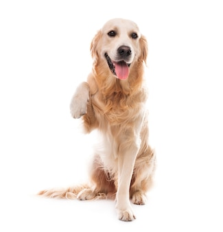 Golden retriever dog with paw up isolated on a white