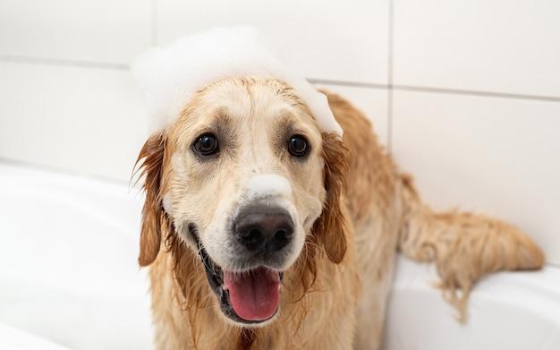 화장실에서 씻는 동안 머리에 비누 거품이있는 골든 리트리버 강아지