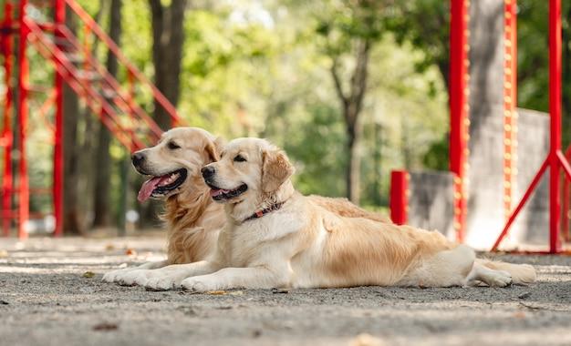 屋外のゴールデンレトリバー犬