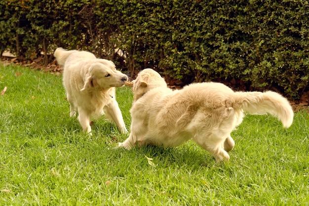 公園で一緒に遊ぶゴールデンレトリバー犬