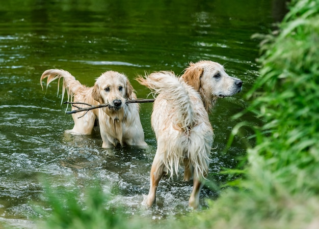 Golden retriever dogs standing in river