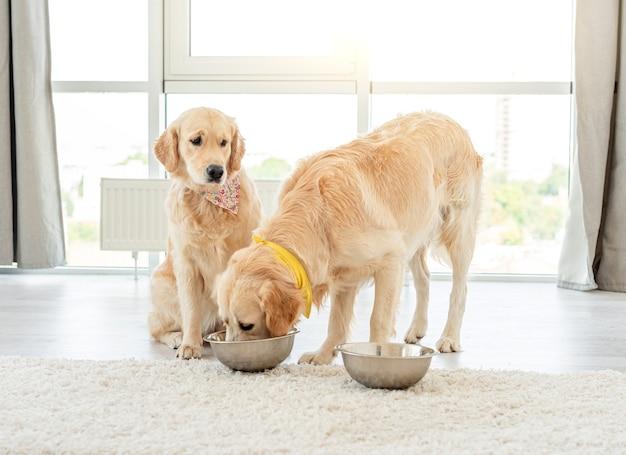 Золотистый ретривер ест из миски другой собаки в светлом интерьере