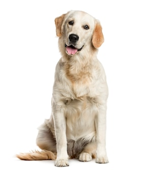 Golden retriever in front of a white wall