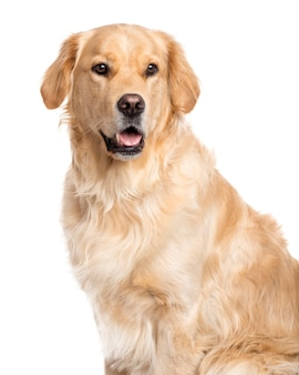 Golden retriever looking away and sticking the tongue out isolated on white