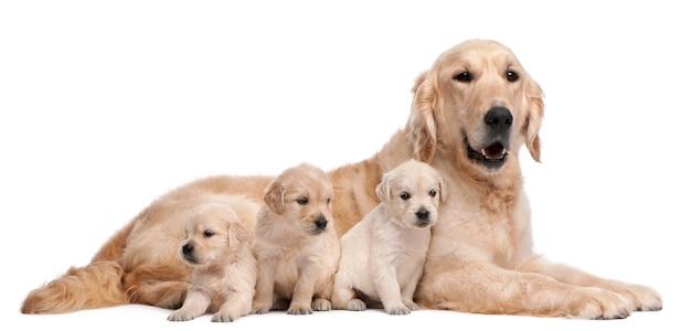 ゴールデンレトリバーの母親、5歳と彼女の子犬、4週齢