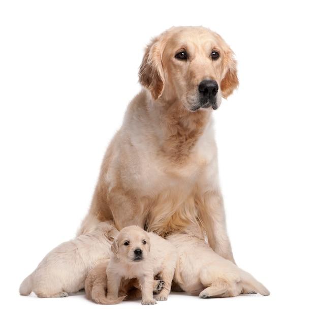 ゴールデン・リトリーバーの母親、5歳、看護と彼女の子犬、4週齢