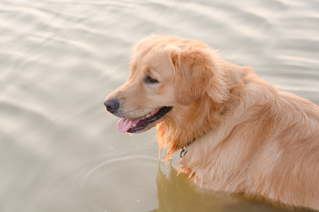 Golden retriever in play at the lake