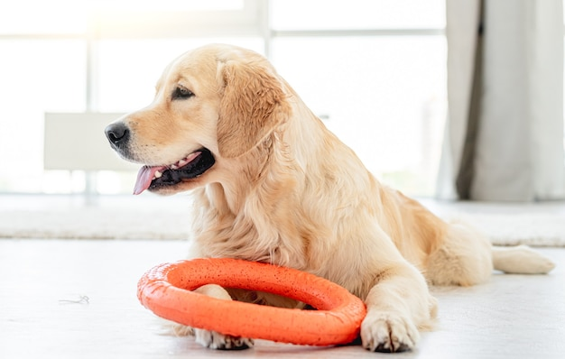 Golden retriever playing with ring toy on floor in bright room