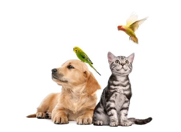 Golden retriever puppy (7 weeks old) lying with a parakeet perched on its head next to british shorthair kitten sitting with a parekeet fkying, isolated on white