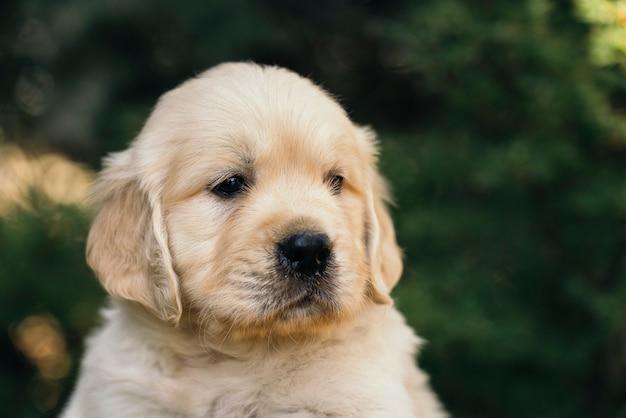 Golden retriever puppy closeup outdoors portrait