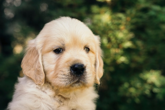 Golden retriever puppy closeup outdoors portrait