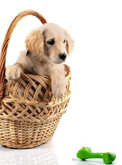 白い背景で隔離のバスケットのゴールデンレトリバーの子犬
