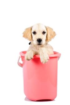 白い背景で隔離のバケツのゴールデンレトリバーの子犬