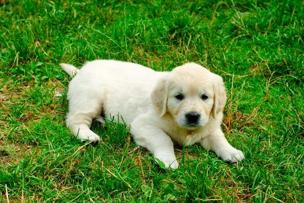 ゴールデンレトリバーの子犬が草の上に横たわっています