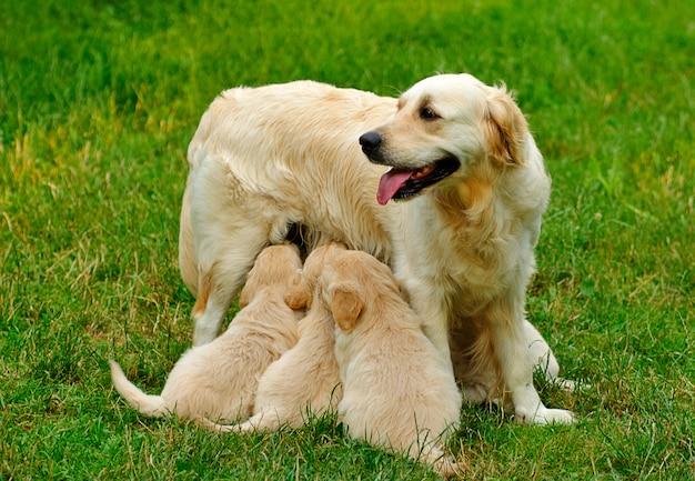ゴールデンレトリバーの子犬は草の中に座っています