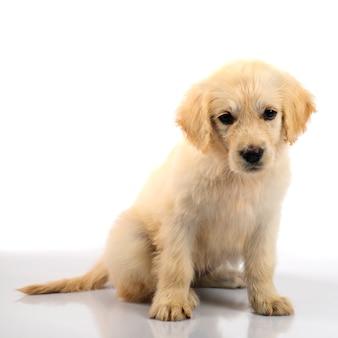 골든 리트리버 강아지 흰색 배경에 고립