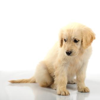 白い背景で隔離のゴールデンレトリバーの子犬