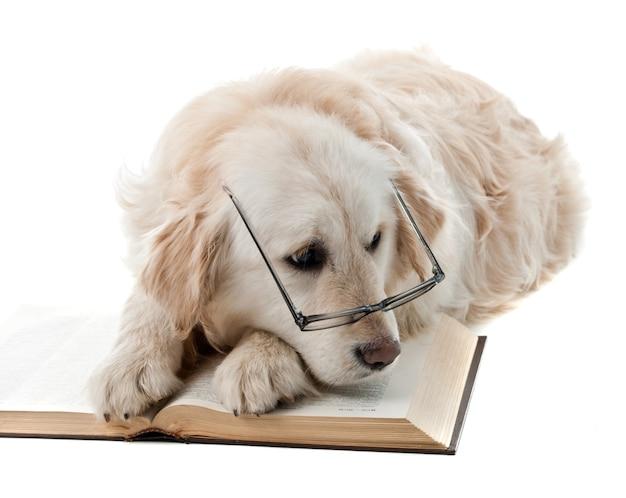 白で隔離のゴールデンレトリバーの子犬