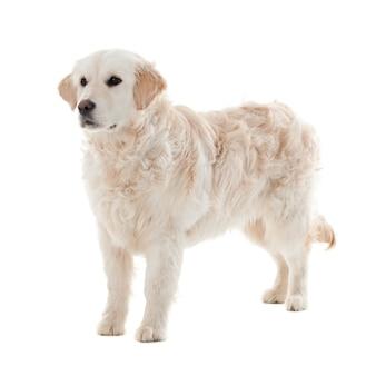 골든 리트리버 강아지 흰색 절연