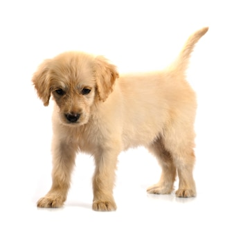 Golden retriever puppy  isolated on white background