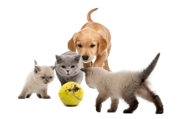 Golden retriever puppy a kittens walking towards tennis ball - isolated on white