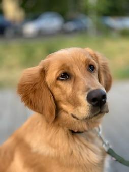 ゴールデンレトリバーの子犬は、グルーミング後にハーベイに言われたことすべてに注意深く耳を傾けます