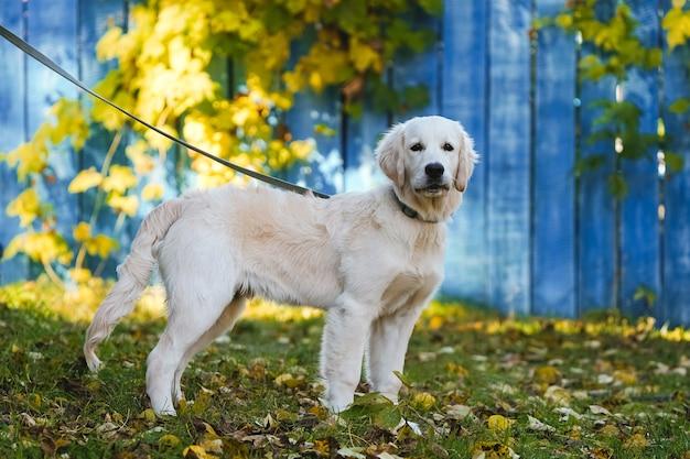 青い木製のフェンスの背景にひもにつないでゴールデンレトリバーの子犬