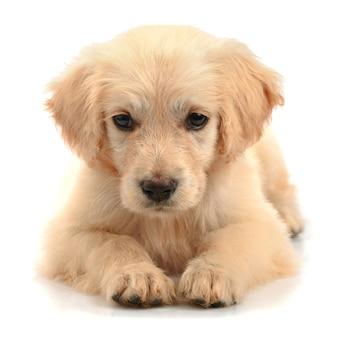 ゴールデンレトリバーの子犬の鼻は、白い背景で隔離のクローズアップ