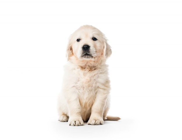 Усаживание щенка золотого ретривера изолированное