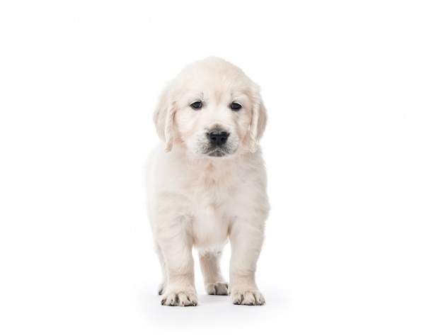 Golden retriever puppy standing isolated