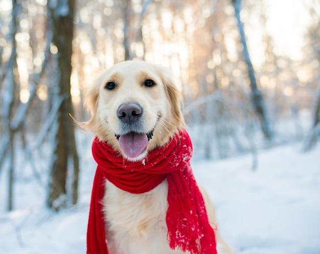 Golden retriever in red scarf