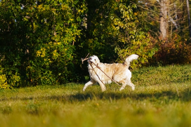 Golden retriever runs with long stick in his teeth on yellow leaves background