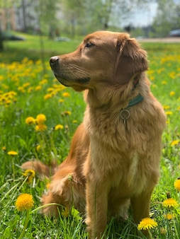 Golden retriever sits on a field of yellow dandelions and looks around
