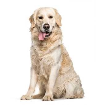 Golden retriever sitting in front of white surface