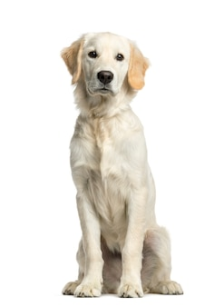 Golden retriever sitting in front of a white wall