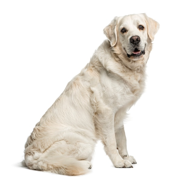 Golden retriever, sitting to the side and looking at camera