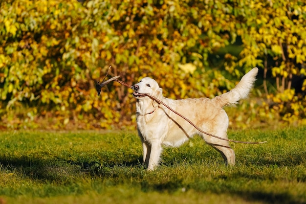Golden retriever stands with long stick in his teeth on yellow leaves background