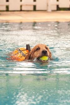 ゴールデンレトリーバー、水泳、テニス、口、ボール