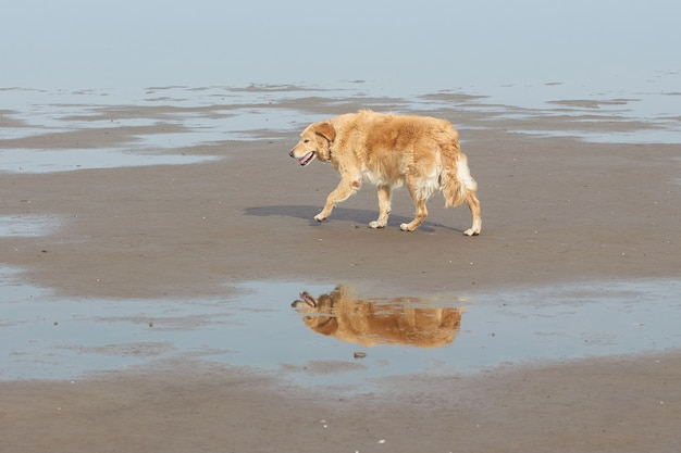 水たまりに反射して一人で歩くゴールデンレトリバー