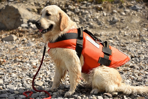 Golden retriever wearing water rescue life jacket