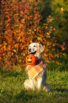 Золотистый ретривер в клетчатой бандане сидит в парке и держит ведро на хэллоуин