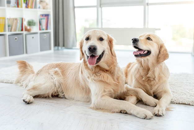 Golden retrievers lying on floor with heads up at home