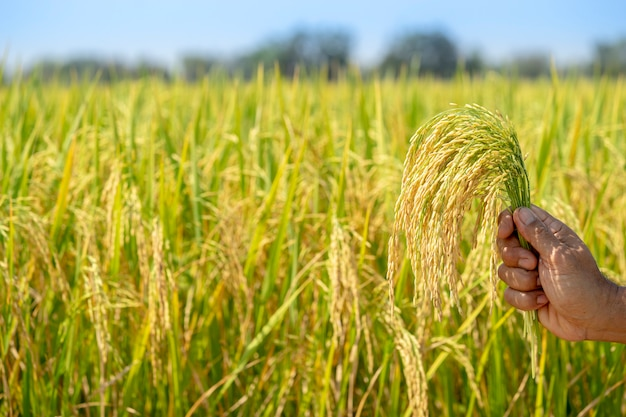 Золотой рис, красивый в руках фермеров.