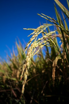 Golden rice ears on reic tree in rice fields